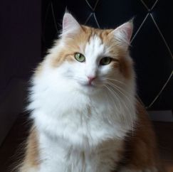Red White Norwegian Forest Cat